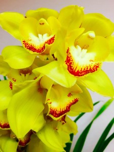 Gold Moon Cymbidium