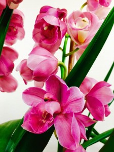 Cymbidium Baltic Sweetheart